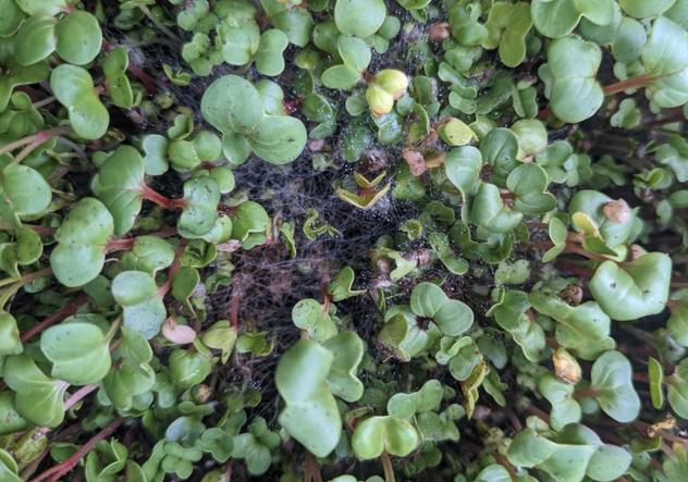 Eksempel på skimmel i mikrogrønt