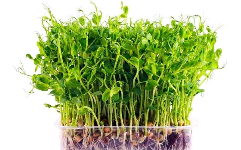 ærteskud-mikrogrøntsager