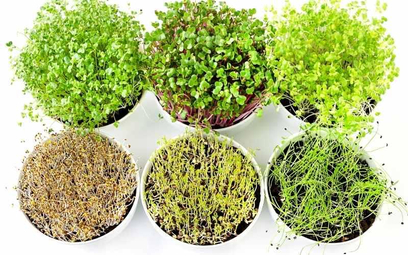 Mange forskellige typer mikrogrønt du kan dyrke