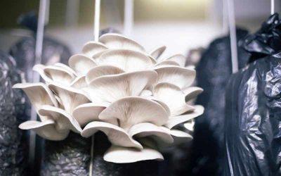 Dyrkning af svampe i kaffegrums