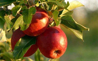 Et æbletræ i krukke på altanen? Are you kidding me?