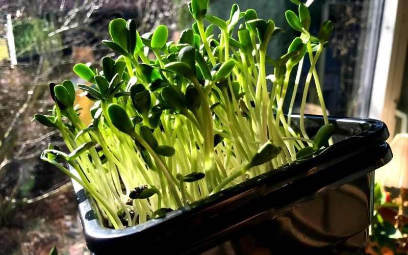 indendørs dyrkning mikro grønt i vinduet
