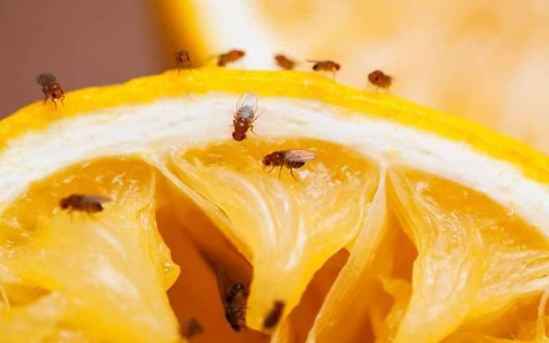 Døjer du med bananfluer i planterne? Sådan kommer du af med dem