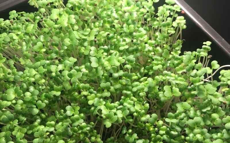 Pak choi dyrket som mikrogrønt