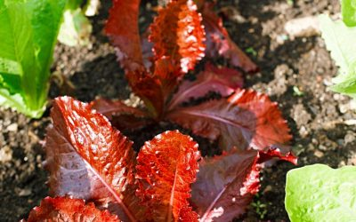 Dyrk salat i højbede og krukker: Sådan gør du